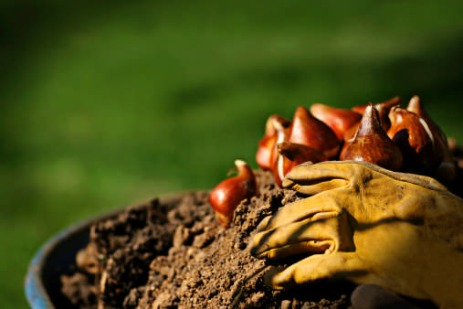 Луковицы тюльпанов лучше всего сажать осенью, руководствуясь сортовой принадлежностью